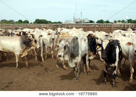 Zebu cattle at a huge ranch in Brazil, ready to be auctioned, source of organic beef