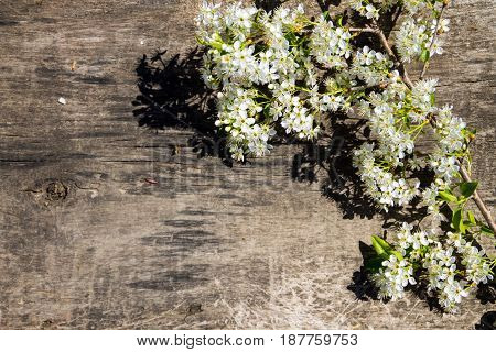 Spring Flowering Branch On Wooden Background With Copy Space