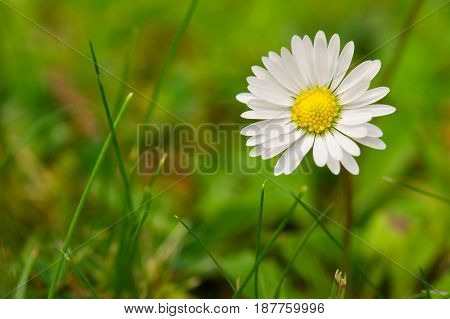chamomile flower isolated with clipping path and morning mist