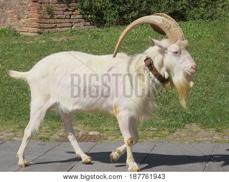 Caper with huge horns