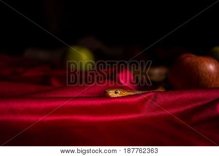 Snake In Folds Of A Cloth On A Table With Apples