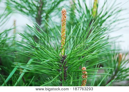 Mountain pine blossom in spring in May