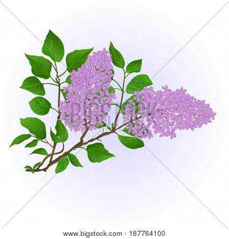 Twig Lilac with flowers and leaves vintage hand draw natural background vector illustration
