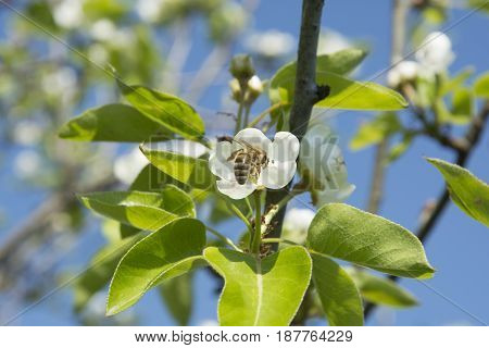 A bee collecting pollen from pear trees. I need to work hard