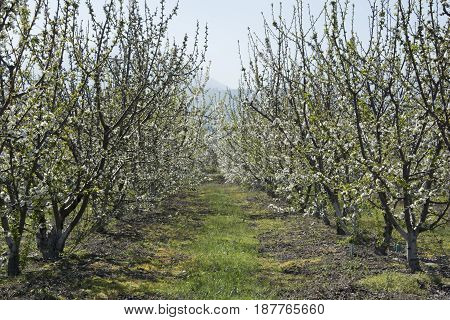 Cherry garden. The flowers have just opened. Summer the most beautiful fruit cherry