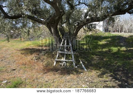 Old olive tree. It stands in all its splendor.