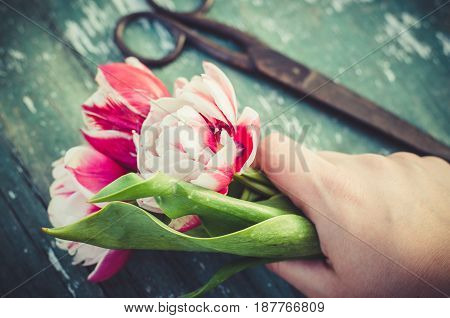 A bouquet of tulips in a woman's hand. Old vintage scissors on a wooden background