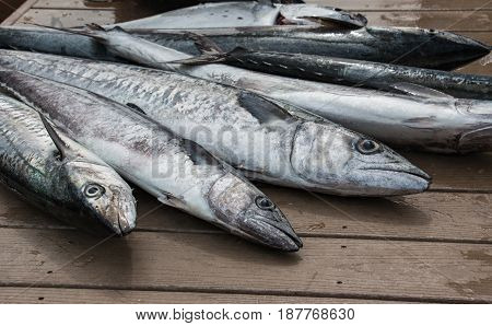 Fresh caught Kingfish fish spread out on dock