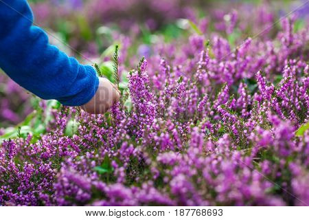 Little boy picking up purple Loosestrife Flower in the garden in spring
