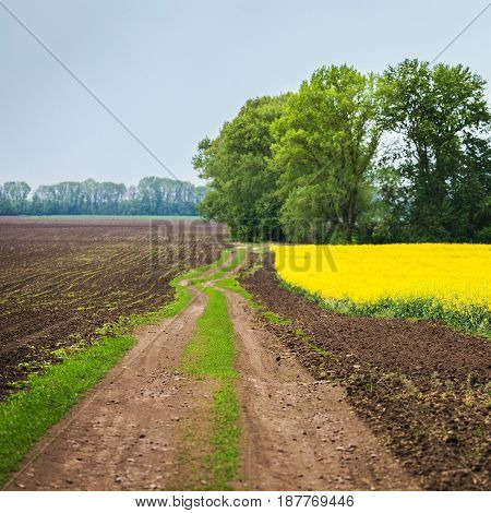 A beautiful field landscape with sprouted wheat leaves on one side and a yellow rapeseed field on the other. Sprouted sprouts. Planting of wheat. The agrarian industry.