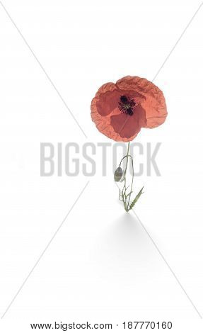 Poppy Flowers, Isolated On White