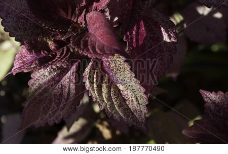 A close-up of leaves on wine-red or burgundy coleus (Plectranthus scutellarioides) an ideal plant for shade gardens