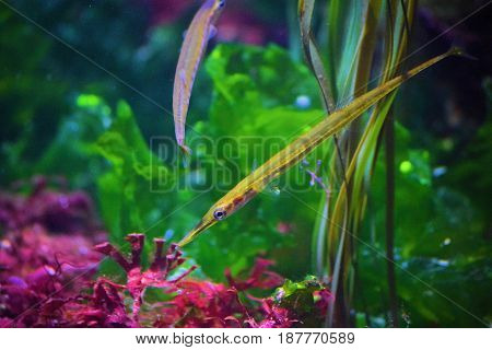 Bay Pipefish swimming next to colorful sea plants taken in an estuary
