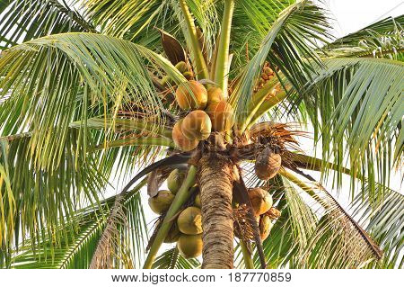 Coconut tree Old coconut on bunch in garden.