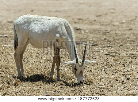 Antelope Arabian white oryx (Oryx dammah) inhabits the Israeli nature reserve because this species is in danger of extinction in its native environment of Sahara desert