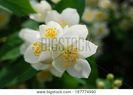 Sprig of blossoming white jasmine in macro