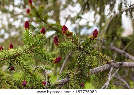Young Red Pine On A Branch With Green Needles Of A Pine Cone Close-up