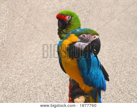 Two Macaw Parrots at lake michigan channel. poster