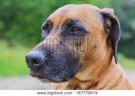 Ridgeback hunting dog. Blurred background in summer park