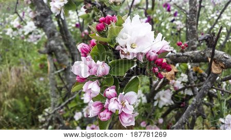 Apple tree flowers macro. Beautiful pink and white flowers.