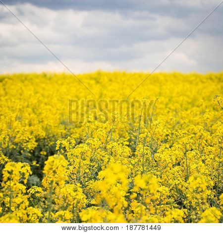 A beautiful bright yellow spring rapeseed field against the background of a dark cloudy sky. Agroindustrial industry