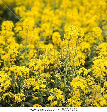 A beautiful bright yellow spring rapeseed field with bright yellow flowers on dark green stems. Agroindustrial industry