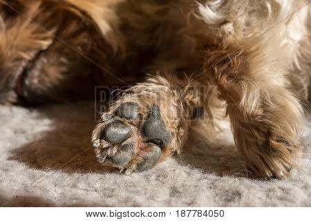 Dog paw pad in macro detail. Cute sleeping doggie Yorkshire Terrier brown hair between doggy paws worn by years