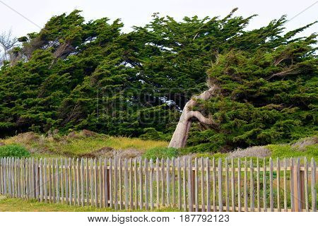 Rustic wooden fence with windswept Cypress Pine Trees beyond taken in the Northern California Coast