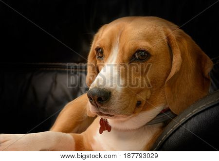 Portrait of beagle dog female lying on black leather sofa at home