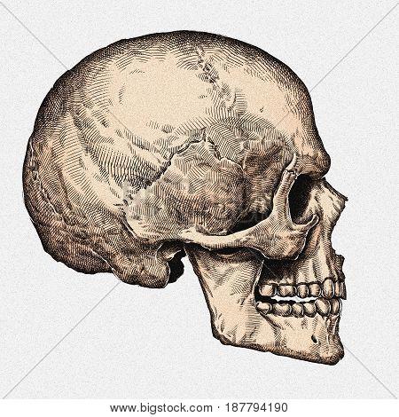 Engrave human skull hand drawn graphic illustration art
