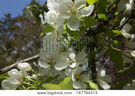 Twig of an apple tree with a white flower in the spring