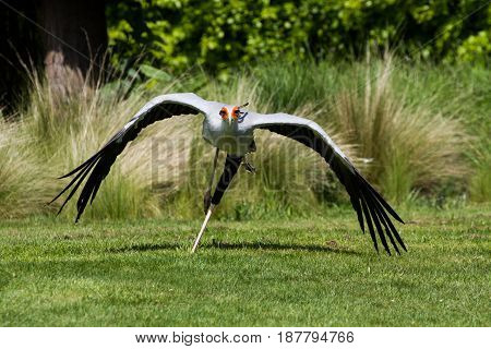 Secretarybird Or Secretary Bird (sagittarius Serpentarius) In Flight