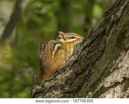 A tiny and cute Eastern Chipmunk watches the photographer while resting on a tree trunk in a Wisconsin forest.