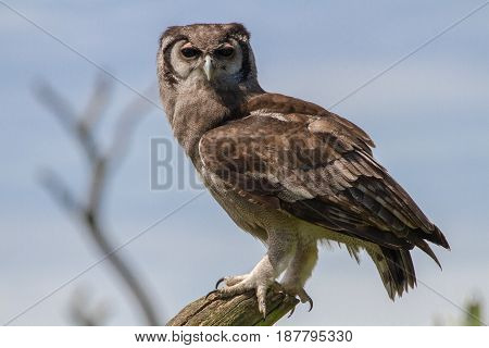 Verreaux's Eagle-owl (bubo Lacteus) Also Known As Milky Eagle Owl