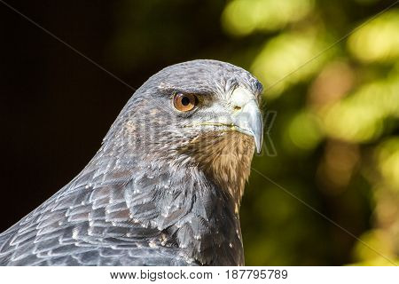 Black Chested Buzzard Eagle Portrait (Buteo Melanoleucus)