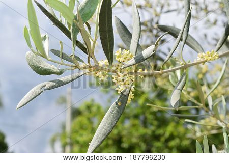 Leaves And Olive Shoots With Bunch Of Buds