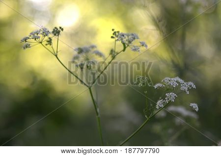Cow parsley with spider web and spiders