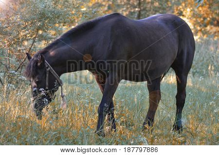 A dark brown racehorse grazes herself in the forest
