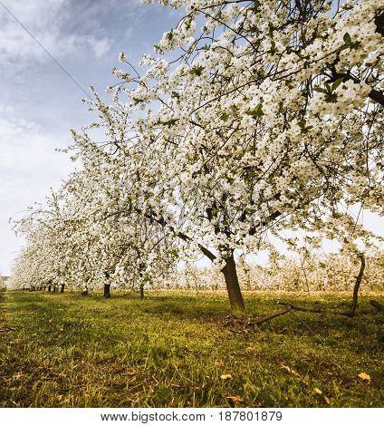 Cherry trees during blooming season. Polish orchard