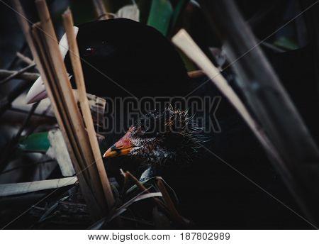 Eurasian Coot (fulica Atra) With A Nestling