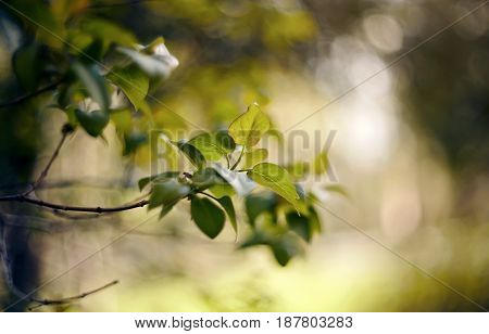 Fresh spring leaves on the branches of the lilac bush.