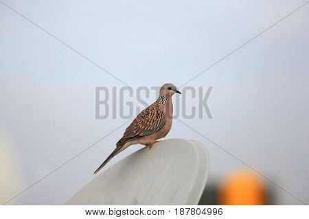 Morning dove on the dish antenna