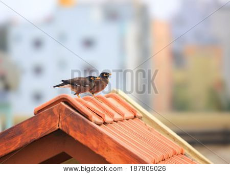 Two common Myna birds on the roof