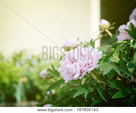 Beautiful pink peonies flower in French garden on a warm spring day