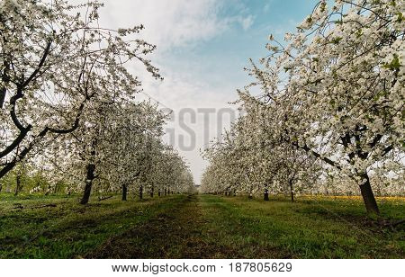 Cherry trees in blooming season. Orchard in Poland