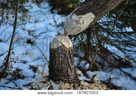 Fallen Tree, Gnawed By Beaver. Closeup View.