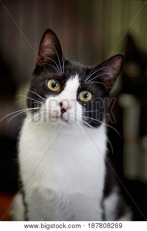 Portrait of the black-and-white cat with green eyes.