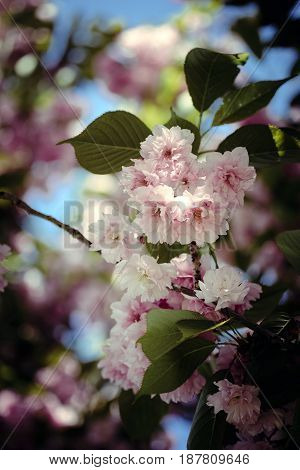 Close-up of a cherry blossom branch in a retro film style