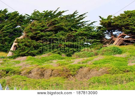 Windswept Cypress Pine Trees shaped from the wind taken on the Northern California Coast