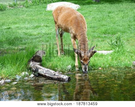 A young mule deer drinking water by a pond.